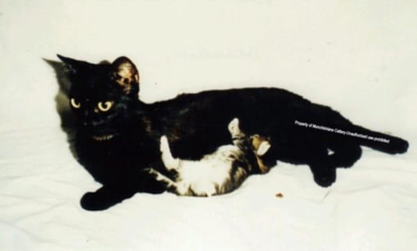 Фото самой первой кошки породы манчкин Blackberry