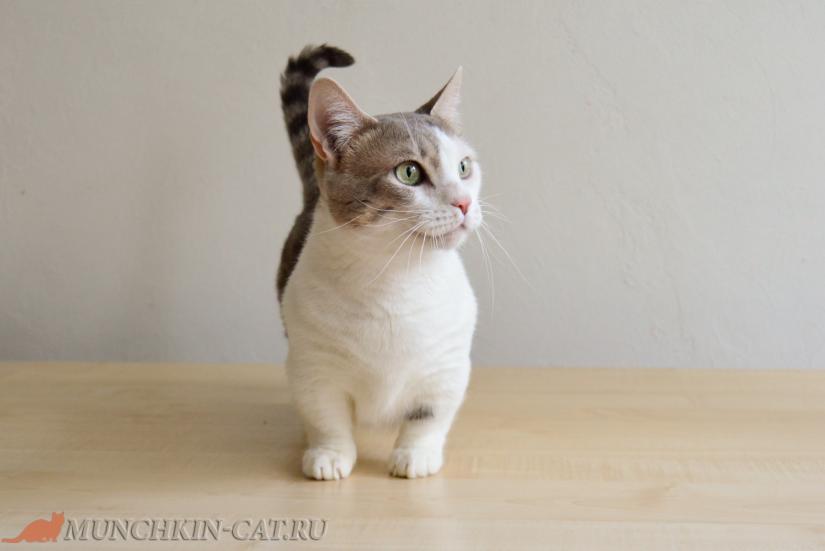 Кошка породы Манчкин Mirra 22.05.20